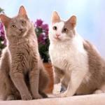 Йоркские шоколадные кошки