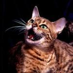 оценка кошки